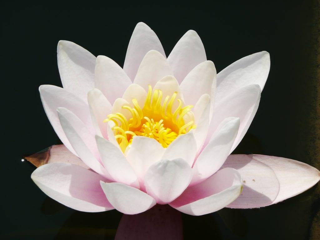 The lotus flower, a symbol of karma.